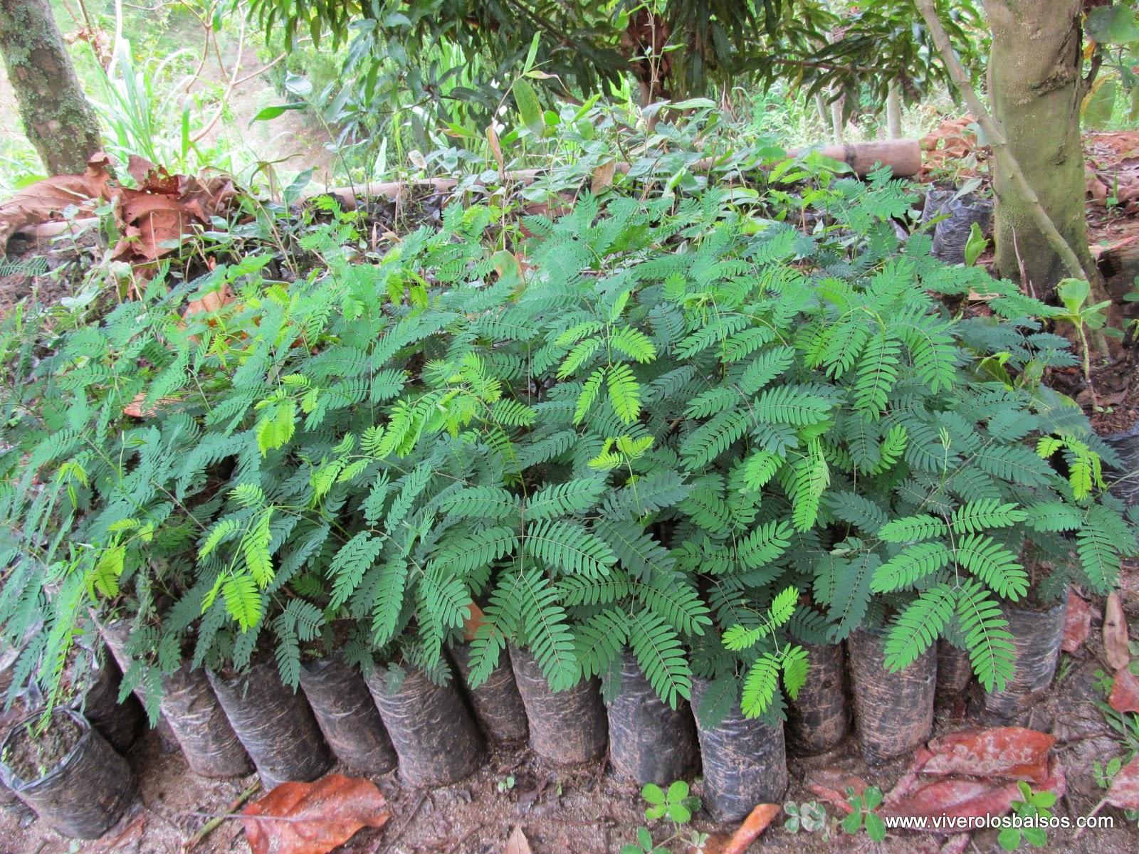 Vivero los balsos venta de plantulas de leucaena en for Viveros medellin