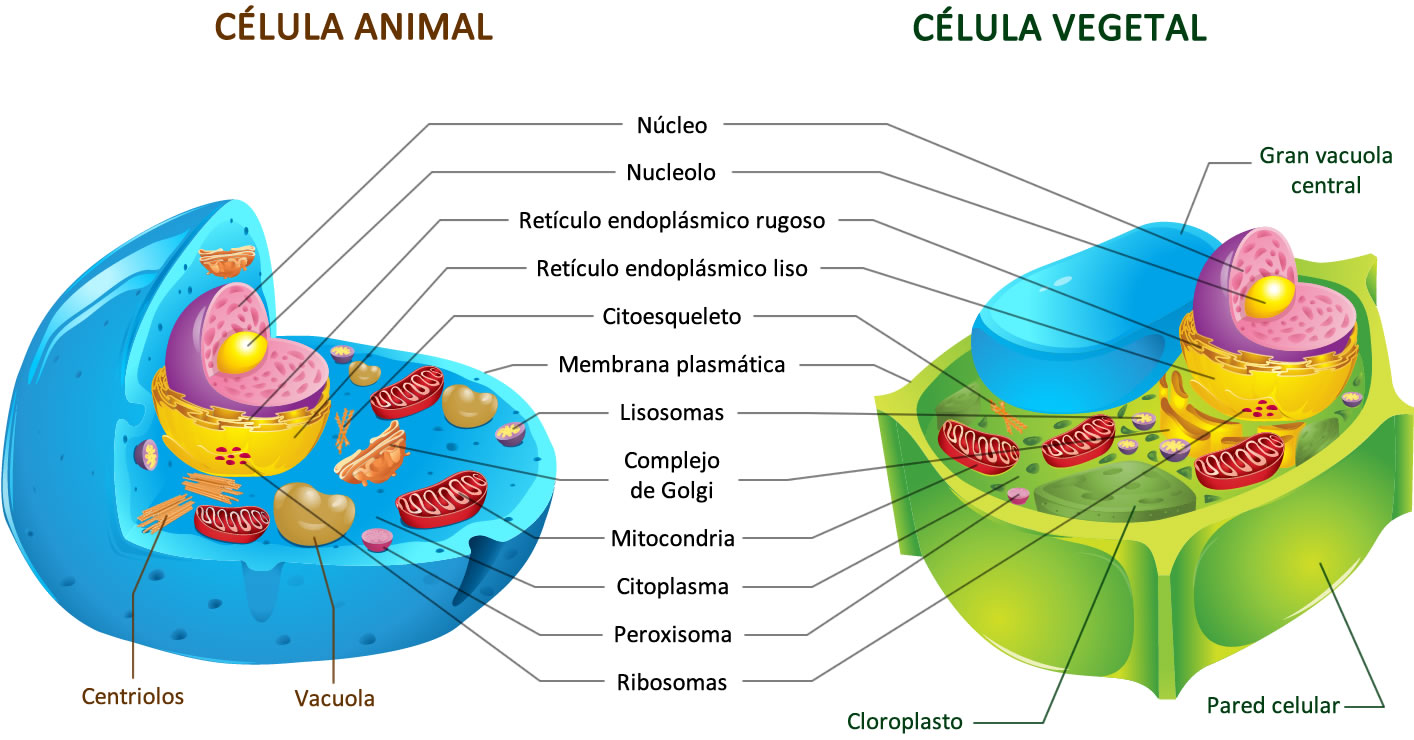 Imagenes De Celula Animal Y Vegetal En Blanco Y Negro Figuras