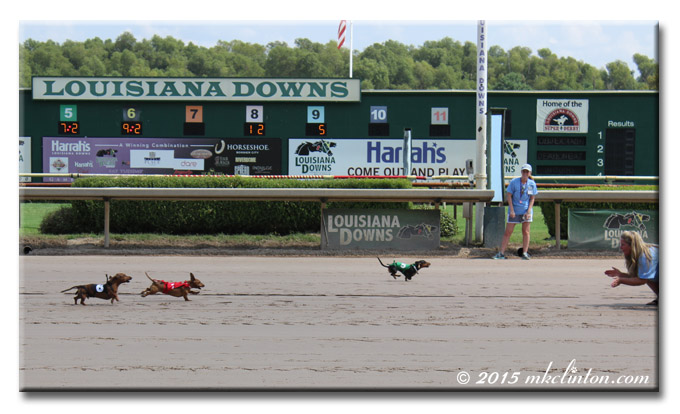 Dachshunds racing on horsetrack