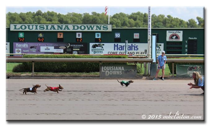 Dachshunds racing on horsetrack