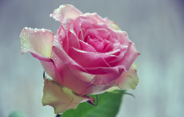 Best Water Drop On Pink Rose Wallpaper