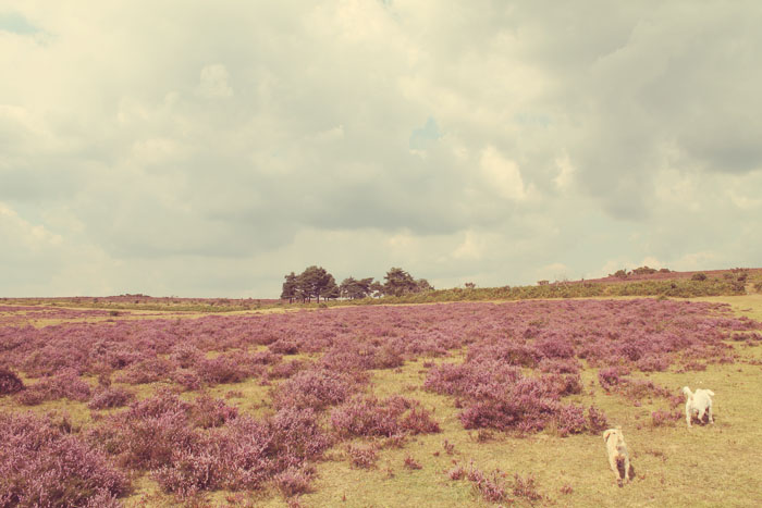 open heathland in brockenhurst