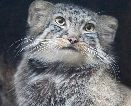 Gato-de-pallas - Também conhecido como Manul, é um pequeno gato selvagem da Ásia Central