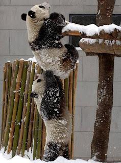 Pandas em vias de extinção ajudam-se uns aos outros