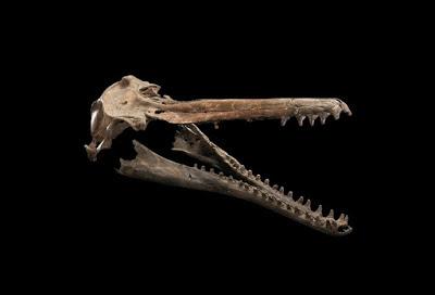 prehistoric cetacea