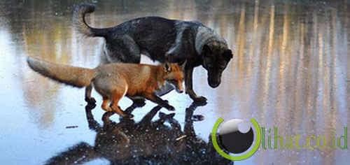 Serigala Liar & Anjing