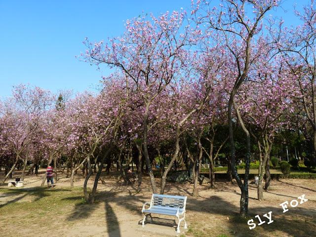 台南公園羊蹄甲