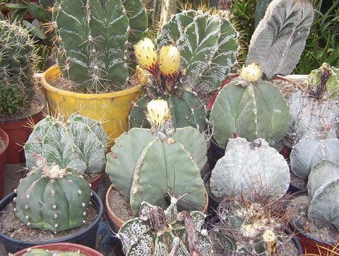 Výsledok vyhľadávania obrázkov pre dopyt dísz kaktuszok png gif