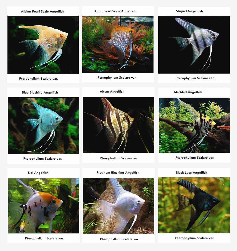 Freshwater aquarium fish angelfish - Feeding Your Angel Fish