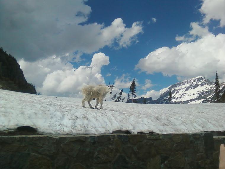 Glacier Mt goat