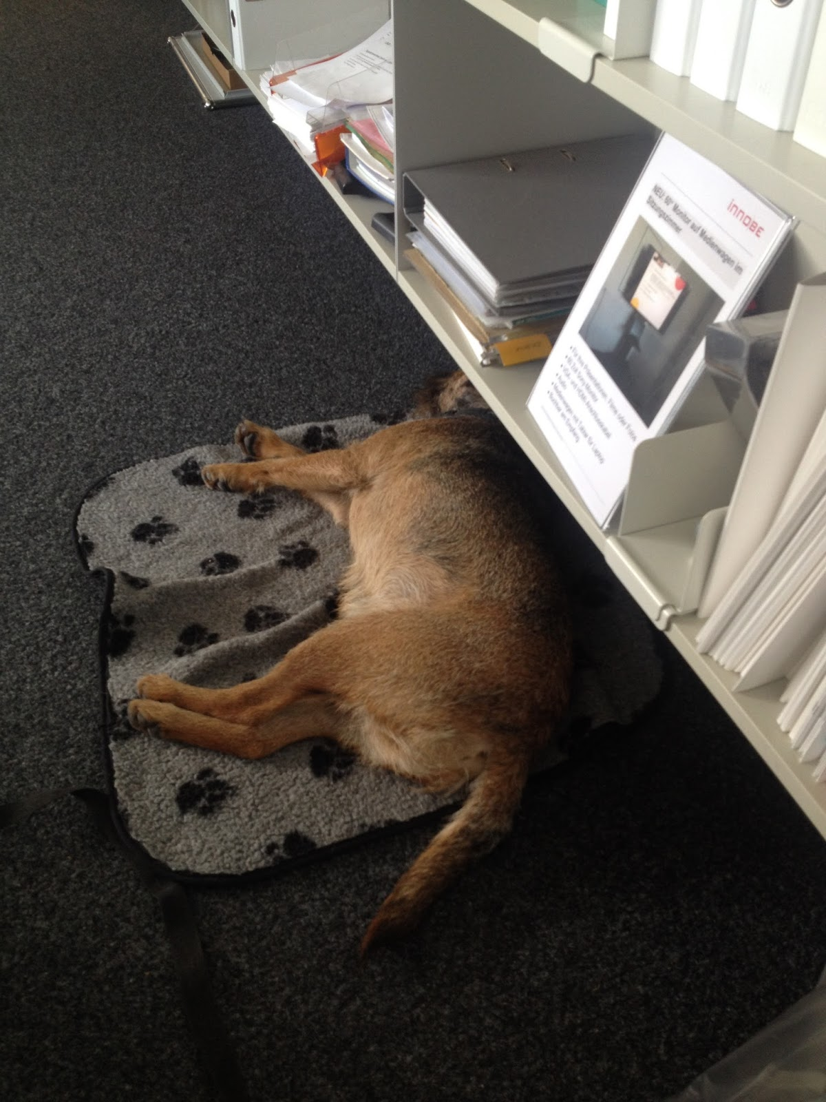 border terrier charly aus thun uhhh dies war zu viel im b ro erholen. Black Bedroom Furniture Sets. Home Design Ideas