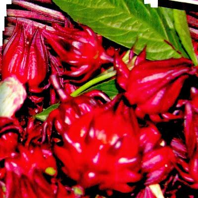 tumbuhan rosela