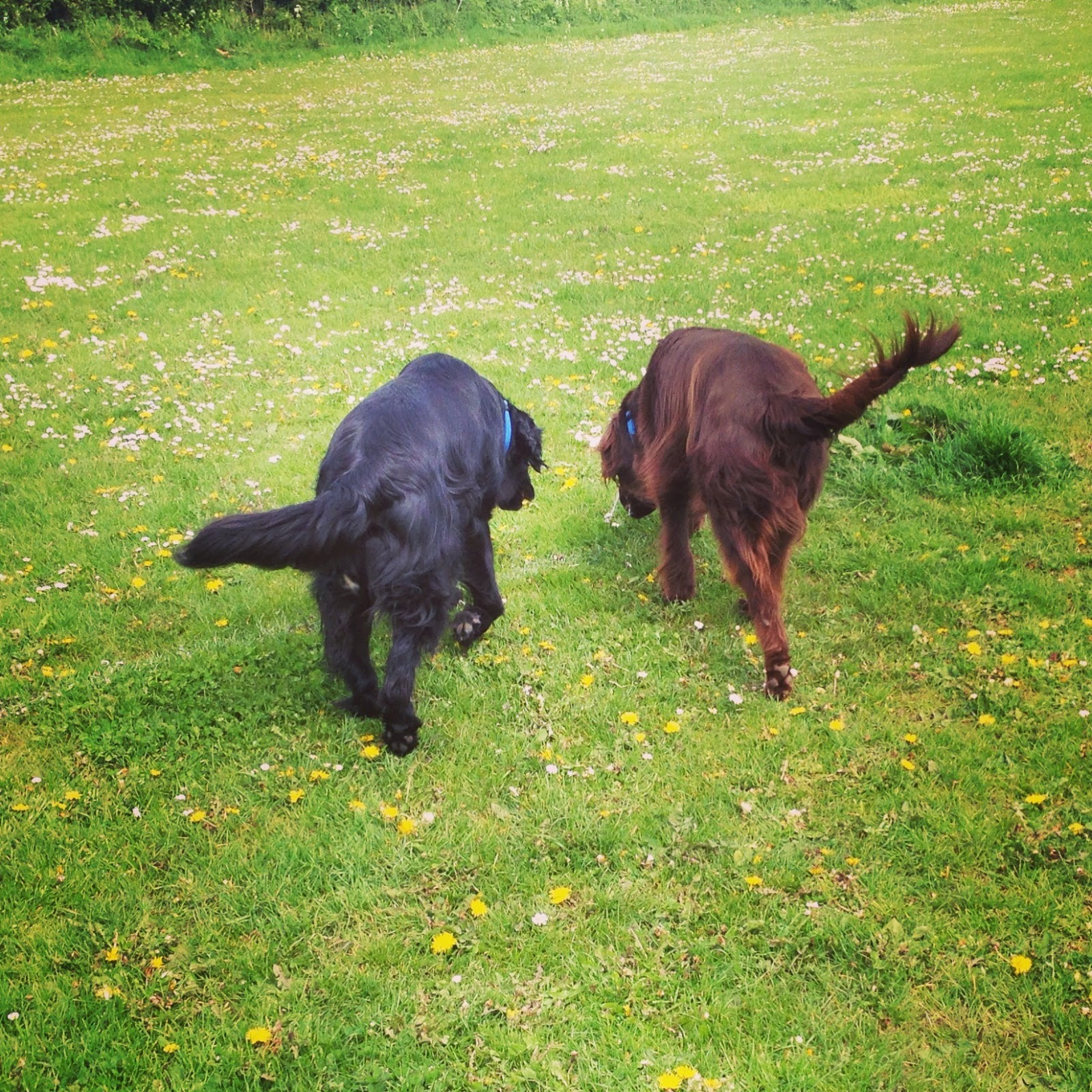 flat coated retrievers liver and black