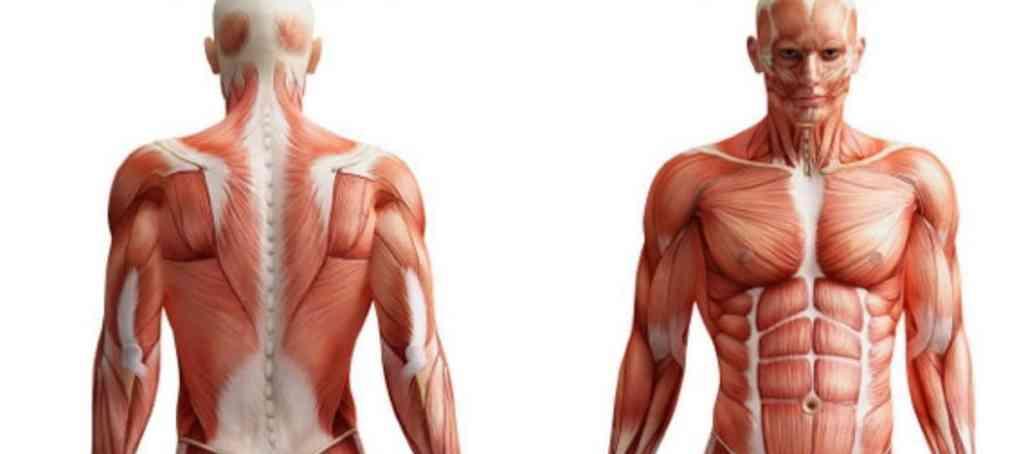 Músculos y sus estiramientos
