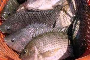 Budidaya Ikan Nila dengan Produk Organik POC NASA, Viterna, TON, Hormonik dari PT. NASA Natural Nusantara - OrganikNusantara