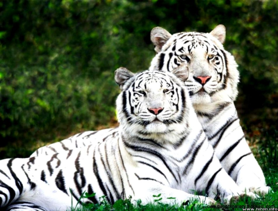 Cute Baby White Tigers | Wallpapers Gallery
