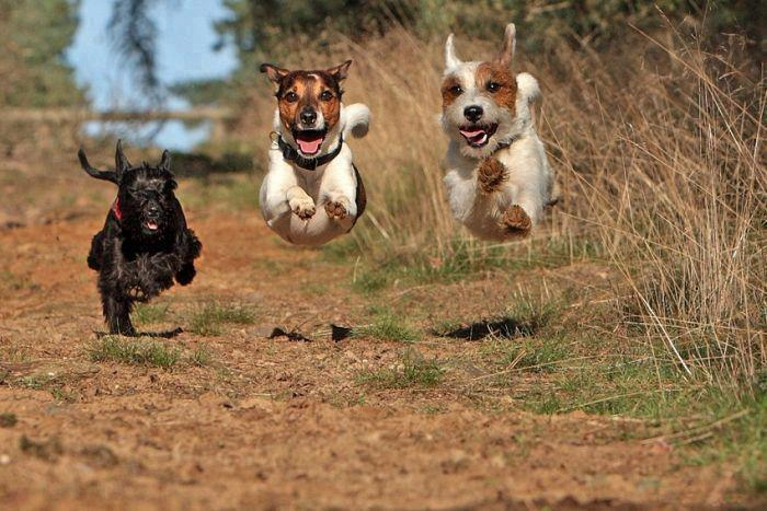 Black dog running after two white puppies