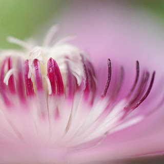 nelly moser clematis macro