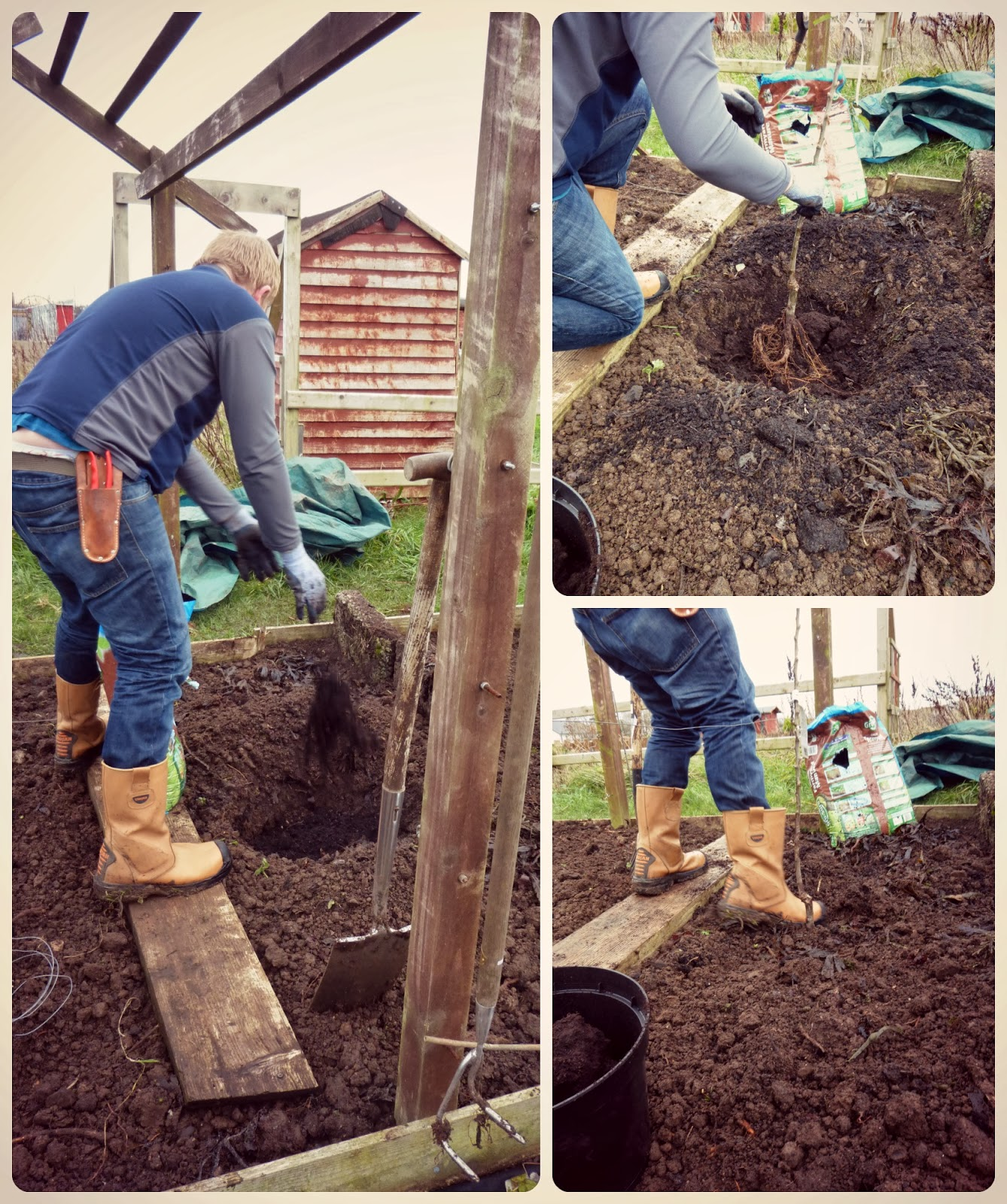 planting an apple tree (pt1)  - 'Grow Our Own' Allotment blog