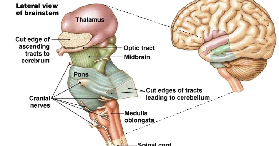 Anatomy Made Easy   Brainstem