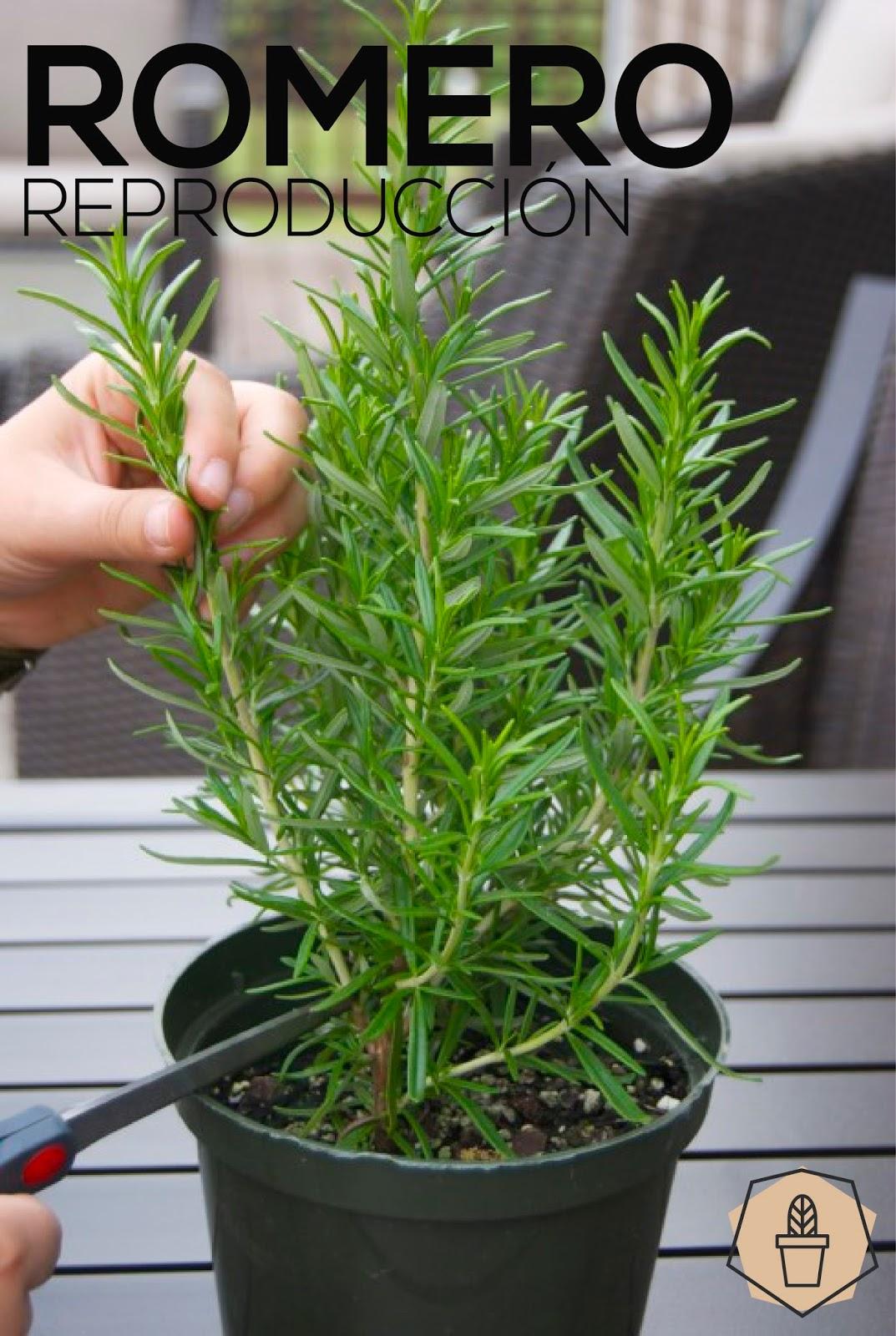 Romero saperes for Plan de negocios de un vivero de plantas