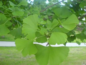 Listovi ginkgo bilobe