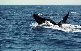 (Canada) - Whale Watch in the Bay of Fundy