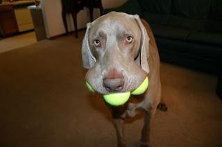 Cão adora bolas ténis
