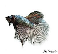 wirausaha ikan cupang hias