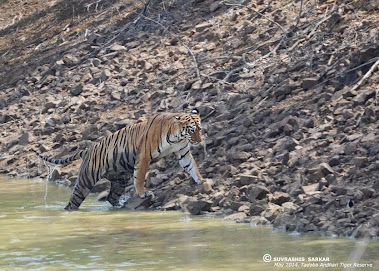 "Tigress ""Maya"" having a dip in the pond in "" Tadoba Core Zone"" range"