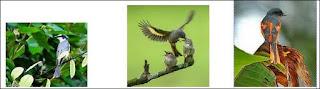 Cara membedakan burung sepah jantan dan betina