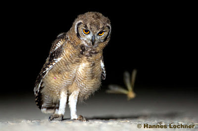 Owl in the Kalahari