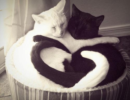 Gatos Abrazados Yin Yang