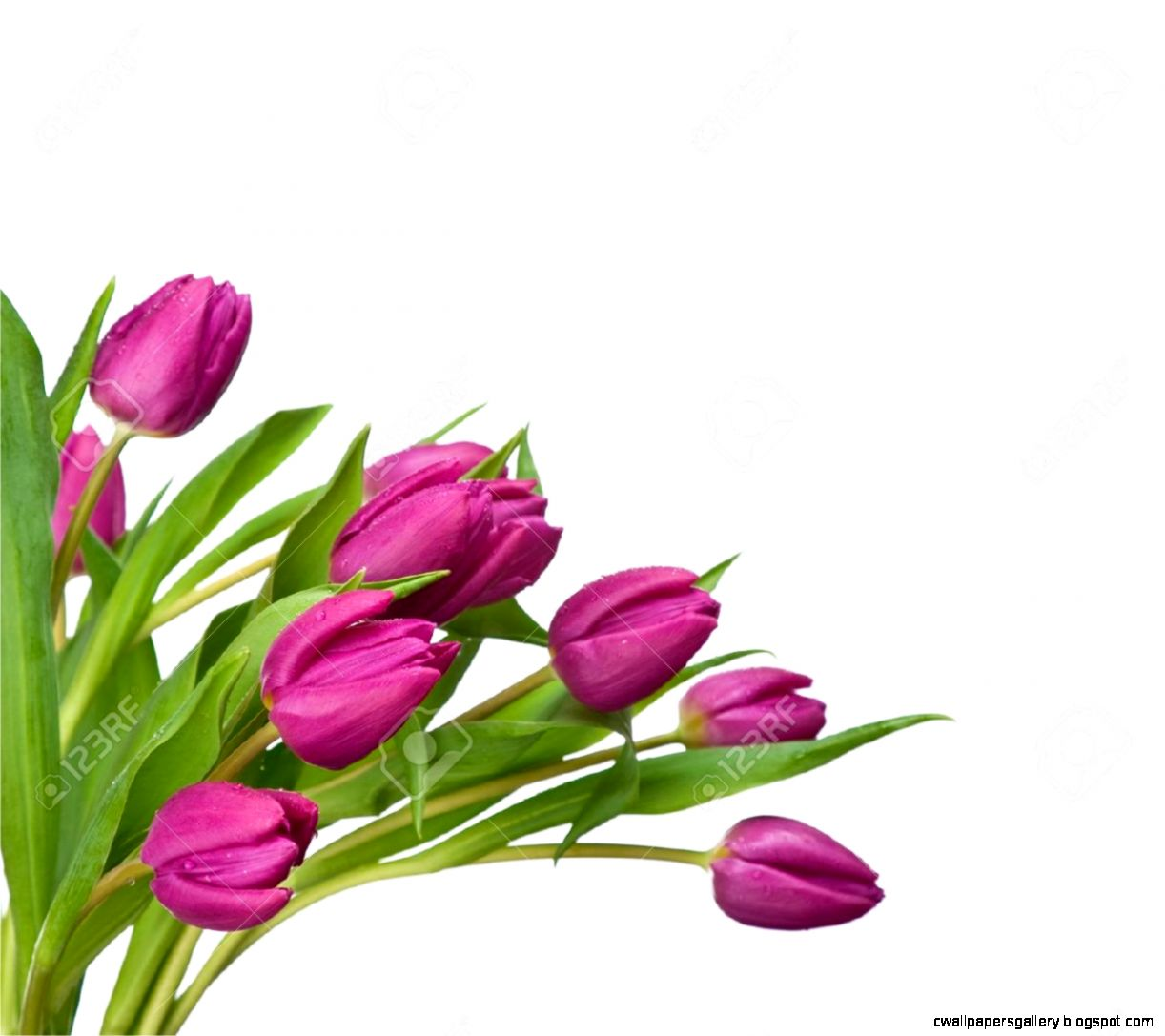 Purple Tulips Isolated On A White  Have A Look