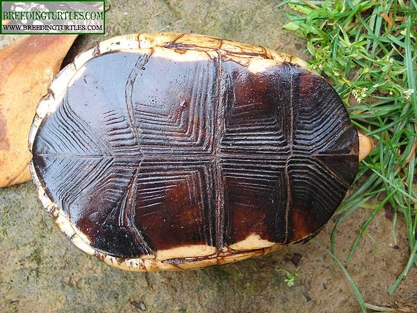 Cistoclemmys flavomarginata, plastrón