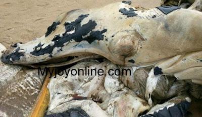 extraña criatura hallada en ghana cabeza de cocodrilo