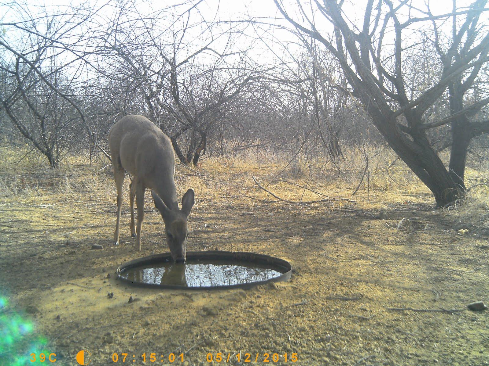 O veado bebendo água