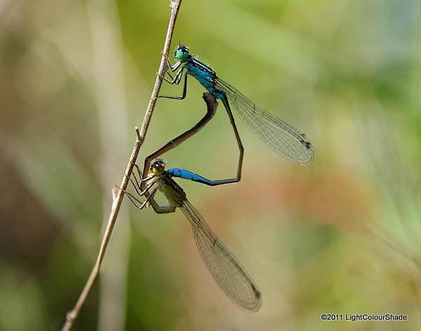 Mating common bluetail damselflies (Ischnura heterosticta)