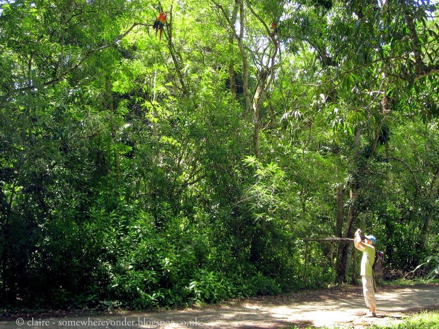 Wild Red Macaws - Copán Ruinas, Honduras
