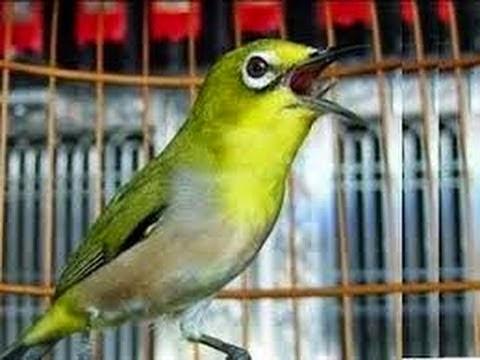 Foto Burung Kicau Terbaik