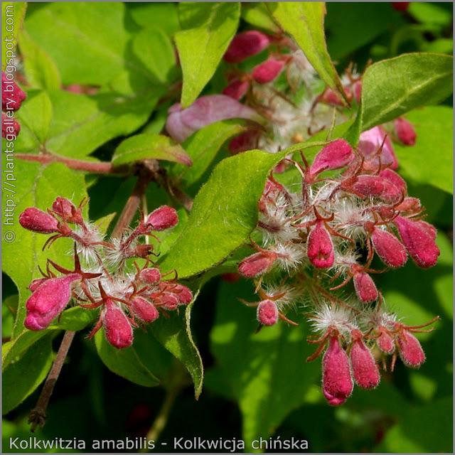 Kolkwitzia amabilis flower buds - Kolkwicja chińska pąki kwiatowe