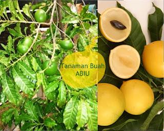 tanaman buah abiu