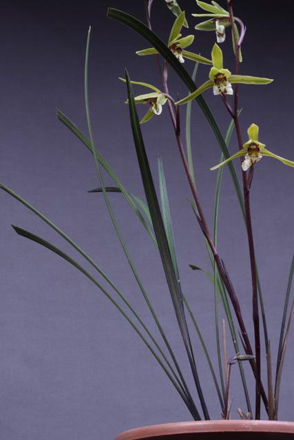 http://3.bp.blogspot.com/-YwtecntkyFk/UWF3icy6IoI/AAAAAAAALCg/LlUeG3ZE-eg/s1600/Cym+qiubeiense+-+plant+and+inflorescence+20132265+-+IMG_8815.jpg