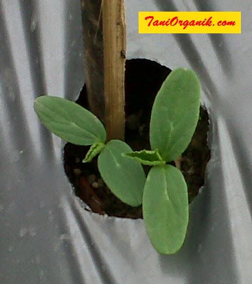 Benih yang mulai tumbuh ditandai dengan munculnya 2 daun bayi