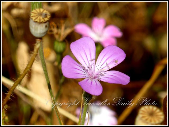 Nielle des blés Domaine de Madame Elisabeth Versailles Corncockle
