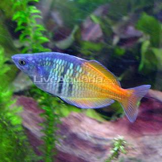 Funny Pictures Gallery Live Aquarium Fish Live Fish Tank