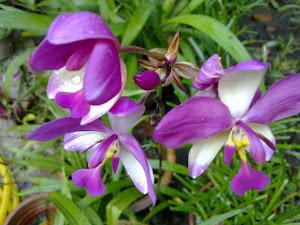 Bunga Orchid