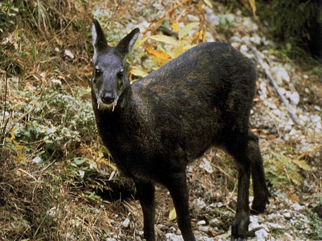 Animal a day siberian musk deer