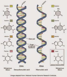 DNA - RNA