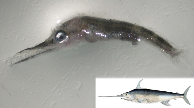 Swordfish larvae